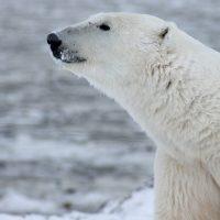 Polar bear with nose in air