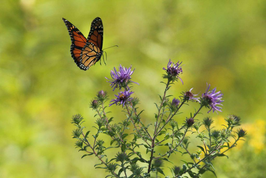 Monarch butterfly alights in a meadow